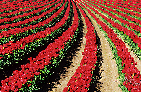 Tulip field A copy